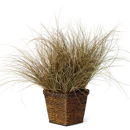 Graceful Grasses® Toffee Twist - Toffee Twist Sedge - Carex flagellifera