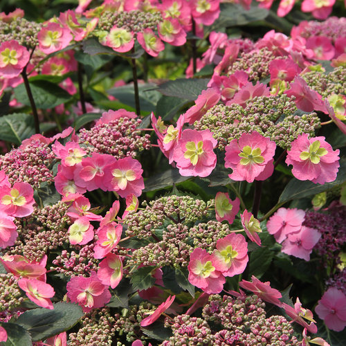 Tuff Stuff™ - Reblooming Mountain Hydrangea - Hydrangea serrata