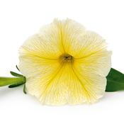 3911_PetuniaVER_Yellow_D2.jpg