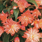 5620_42-begonia-soft-orange.jpg