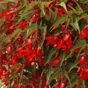 6064_21-begonia-deep-red.jpg