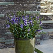 angelface-wedgwood-blue-improved-angelonia-hybrid1.jpg
