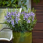 angelface-wedgwood-blue-improved-angelonia-hybrid2.jpg