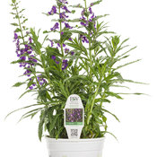 angelonia_angelface_super_blue_1-gal_royale.jpg