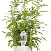 Angelface® Super White - Summer Snapdragon - Angelonia
