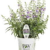angelonia_angelface_wedgwood_blue_improved_royale.jpg