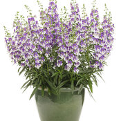 angelonia_wedgwood_blue_improved_mono.jpg