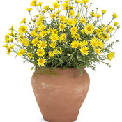 argyranthemum_golden_butterfly_mono.jpg