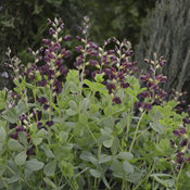 baptisia_dutch_chocolate.jpg