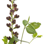 baptisia_dutch_chocolate_01.jpg