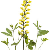 baptisia_lemon_meringue_01.jpg