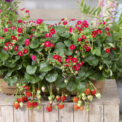 berried_treasure_red_basket_scene2.jpg