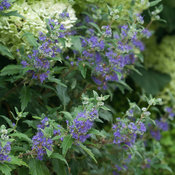 Beyond Midnight Caryopteris
