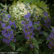 beyond_midnight_caryopteris-4.jpg