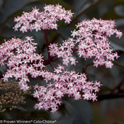 black_beauty_sambucus-3.jpg