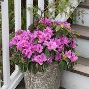 bloom-a-thon_lavender_azalea-6.jpg