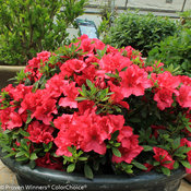 bloom-a-thon_red_azalea.jpg