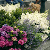 bobo_hydrangea_on_marthas_vineyard.jpg
