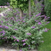 Lo & Behold 'Blue Chip' Buddleia (butterfly bush)