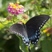 butterfly_swallowtail_on_lantana_pw1_4x5.jpg