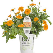 calendula_lady_godiva_orange_grande.jpg