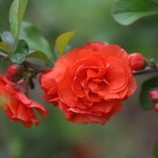 chaenomeles_double_take_orange_blooms2.jpg