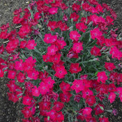 dianthus_paint_the_town_magenta.jpg