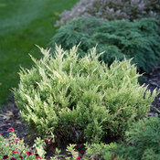 good_vibrations_gold_juniperus-4.jpg