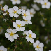 happy_face_white_potentilla-0731.jpg