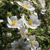 happy_face_white_potentilla-3.jpg