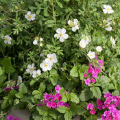happy_face_white_potentilla.jpg