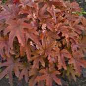 heucherella_red_rover_cjw16_2.jpg