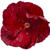 hibiscus-cranberry-crush-01.jpg