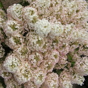 hydrangea_bobo_in_bloom.jpg