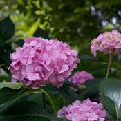 HydrangeaLetsDanceMoonlight8759.jpg