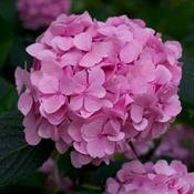 HydrangeaLetsDanceMoonlight8768.jpg