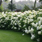 incrediball_hydrangea_in_the_landscape.jpg