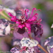 jazz_hands_variegated_loropetalum-1.jpg