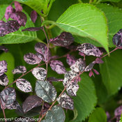 jazz_hands_variegated_loropetalum-5.jpg
