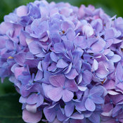 Let's Dance Moonlight Hydrangea