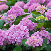lets_dance_moonlight_hydrangea-5.jpg