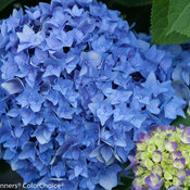 lets_dance_rhythmic_blue_hydrangea-4.jpg