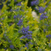 lil_miss_sunshine_caryopteris-3712.jpg