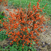 little_goblin_orange_ilex_verticillata.jpg