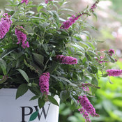 Lo & Behold 'Pink Micro Chip' Buddleia (butterfly bush)