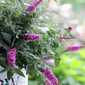 lo_behold_pink_micro_chip_buddleia_-7624.jpg