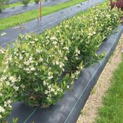 low_scape_hedger_aronia_blooming.jpg