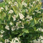 low_scape_hedger_aronia_flowers.jpg