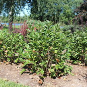 low_scape_hedger_aronia_landscaping.jpg