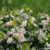 Low Scape Mound Chokeberry in flower